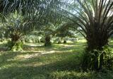 ขายที่ดิน พร้อมสวนปาล์ม อายุปาล์ม 7 ปีทั้งหมด 20 ไร่ - DDproperty.com