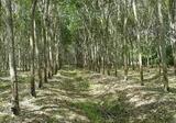 สวนยางพารามีโฉนด เนื้อที่ 10ไร่ 1งาน 44ตารางวา อ.ท่าศาลา จ.นครศรีธรรมราช - DDproperty.com