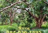 ที่ดิน 3 ไร่ ห่างตลาดน้ำอัมพวาเพียง 1 กม. สวนลิ้นจี่ ส้มโอ ทำเลดี น่าสนใจ - DDproperty.com