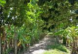 ขายที่ดิน สวนกล้วยและสวนสัก หลังที่ว่าการอำเภอสันกำแพงเก่า - DDproperty.com