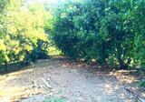 ขายที่สวนผลไม้ เนื้อที่ 6ไร่ ตั้งอยู่ ต.ดงละคร อ.เมือง จ.นครนายก ห่างตัวเมืองนครนายกประมาณ 5กม มีโฉนดพร้อมโอน - DDproperty.com
