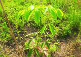 ขายสวนยางพารา 3,300 ต้น ภบท.5 50 ไร่ อ.น้ำหนาว จ.เพชรบูรณ์ แหล่งโอโซนอันดับ 2 ของประเทศ - DDproperty.com